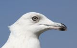 Kumlien's Gull / 2nd winter / Pitsea / 24 Mar 2012 © R Bonser